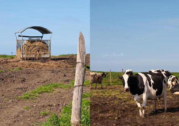 vacas-y-pastos