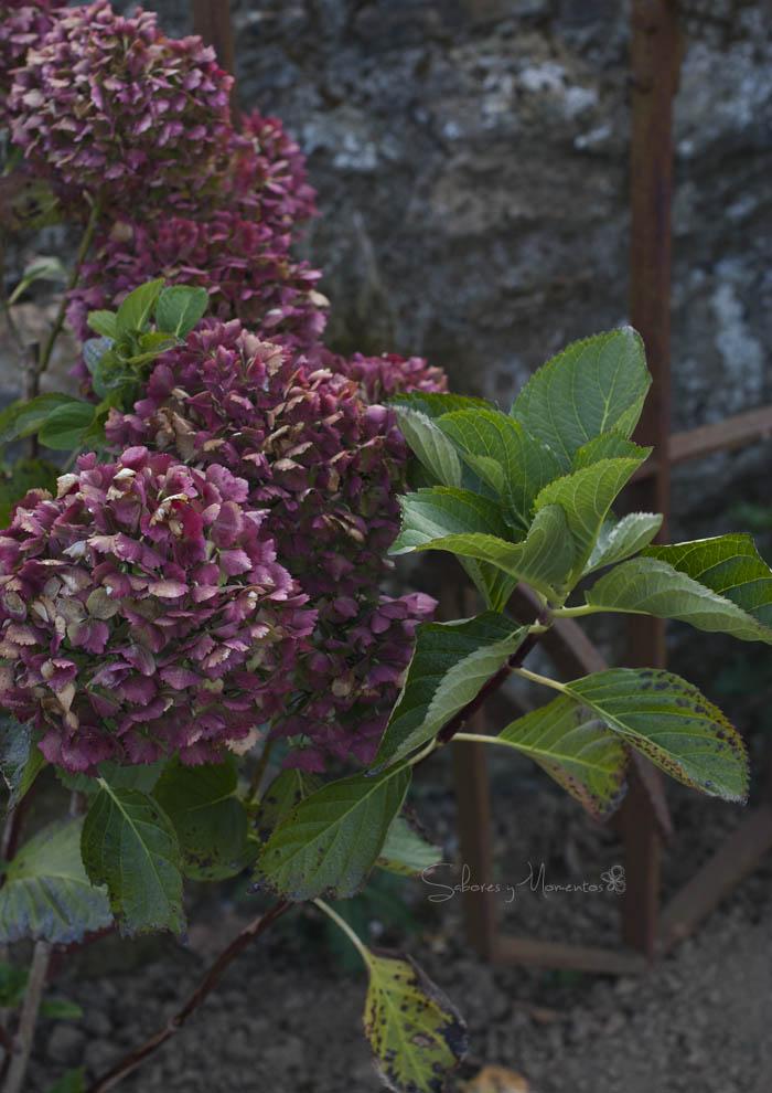 Las últimas hortensias de la temporada.